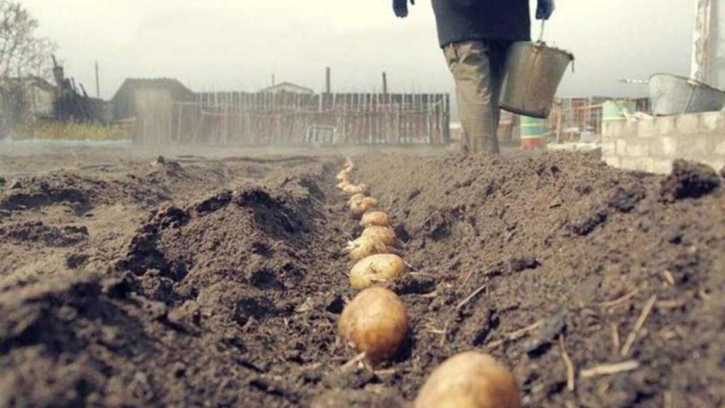 Штраф за выращивание картошки